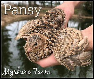 Includes Italian// Golden Manchurian 110 GOLD Coturnix Hatching Eggs By Myshire
