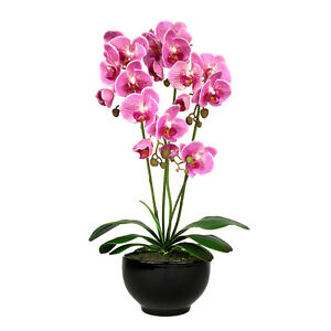 orchidee 60 cm