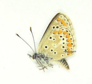 Unmounted-Butterfly-Lycaenidae-Aricia-agestis-agestis-male-Hungary