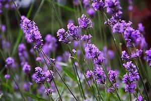 LAVENDER-1200-SEEDS-MUNSTEAD-FREE-SHIPPING-MOSQUITO-REPELLENT-ENGLISH-TRUE-USA