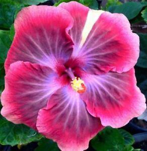 20 Rare Dark Purple Hibiscus Seeds Perennial Flower Garden Exotic Hardy Seed