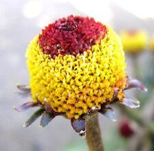 GESCHMACKSERLEBNIS, 50 Samen Parakresse, Husarenkopf, Jambu (Acmella oleracea)
