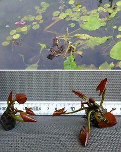 Bonsai seerose rosa schwimmpflanzen pflanzen f r den for Stor fur gartenteich