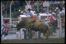 331079 Bull Riding A4 Photo Print