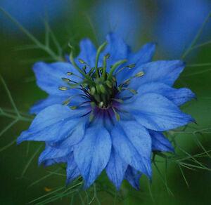 750 Graines De Nigelle De Damas Miss Jekyll Bleu Cheveux De Venus