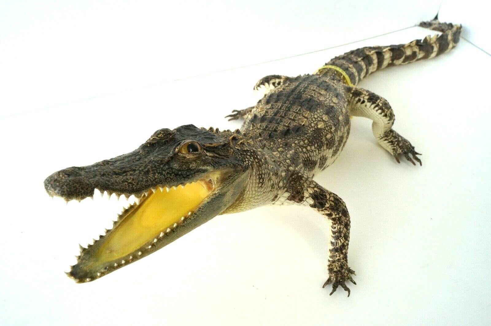 REAL TAXIDERMY CROCODILE 81cm STUFFED ANIMAL HOME DECOR GIFT UNIQUE EXOTIC RARE