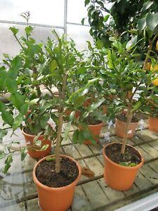 Citrus hystrix, Kaffirlimette, Limettenbaum 70-80cm Solitärpflanzen, Kaffir