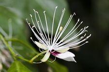 Kapernstrauch Capparis spinosa Gewürzpflanze Heilpflanze mediterrane Zierpflanze