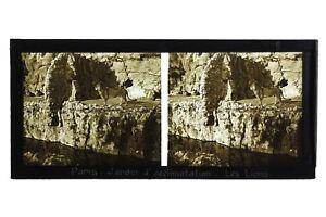 Leone-Giardino-Acclimatazione-Parigi-Francia-Foto-Stereo-Placca-Vintage