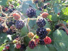 Evergreen Blackberry Seeds 200 Wild Blackberry Seeds Black Berries