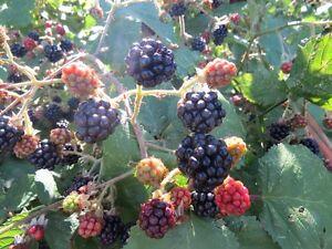 Evergreen-Blackberry-Seeds-200-Wild-Blackberry-Seeds-Black-Berries