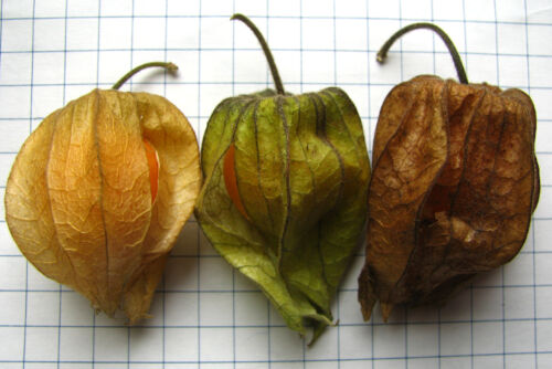 50 PINEAPPLE TOMATILLO Yellow Ground Cherry Physalis Ixocarpa Fruit Vine Seeds