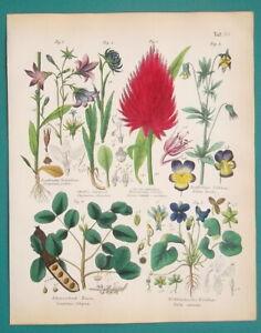 FLOWERS-BOTANY-Violet-Bellflower-Cockscomb-Pansy-Carob-1845-H-C-COLOR-Print