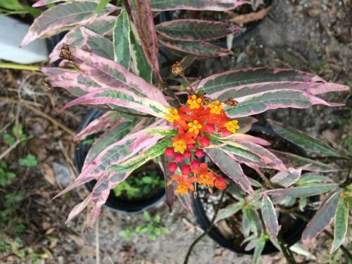 Asclepias variegated Monarchs Promise 10 seeds US SELLER