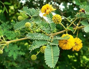 Acacia nilotica tropical seeds evergreen deep yellow flowers ebay image is loading acacia nilotica tropical seeds evergreen deep yellow flowers mightylinksfo
