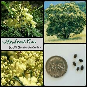 Details About 20 Black Wattle Tree Seeds Acacia Mearnsii Native Firewood Fast Growing