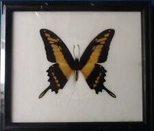 GIANT YELLOW STRIPED SWALLOWTAIL BUTTERFLY PAPILIO TAXIDERMY INSECT ENTOMOLOGY