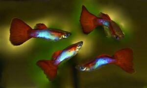 10 (dix) Fry Du Japon Rouge Bleu Nageoires Guppy (poecilia Reticulata, Poecilidé)