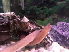 """Freshwater Moray Eel, """"Snowflake Moray Eel"""" Brackish Water Tropical Fish"""