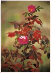 w9w-Postcard-Rose