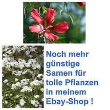 Samen-Spar-Set: schöner roter Hibiskus und toll duftender echter Waldmeister !