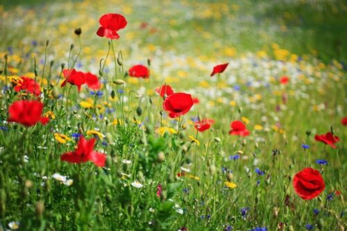 Dry Land Wildflower Seed Mix, Arid or Drought Landscape, Parched, Easy Grow