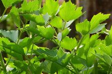 150 Samen Liebstöckel - Maggikraut Levisticum officinale Liebstock mehrjährig