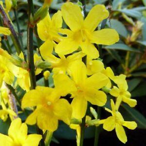 Yellow-Flowers-Winter-Jasmine-Jasminum-nudiflorum-Rooted-cutting-Live-Plant