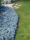 Succulent-Blue Chalksticks (B)- SMALL COMPACT FORM -Senecio serpens -50 cuttings