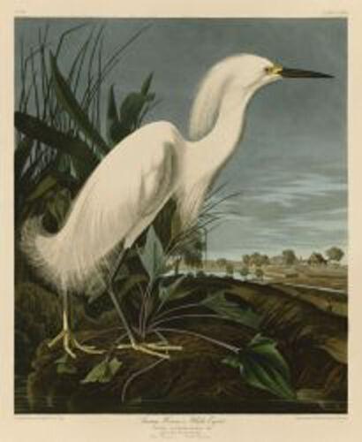 Snowy Heron or White Egret Audubon Wildlife Bird Nature Print Poster 19x13