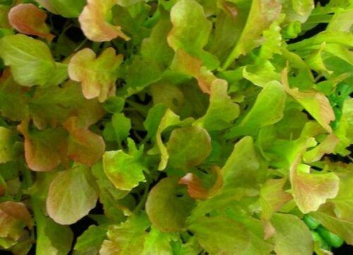 Red Salad Bowl Lettuce Seeds Heirloom 1,000 Seeds   $1.69 Max Shipping//order