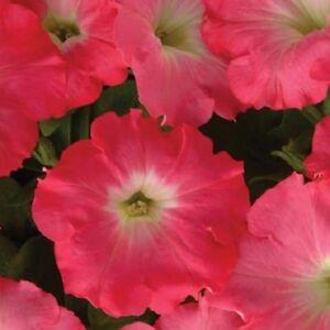 25-Pelleted-Seeds-Easy-Wave-Rosy-Dawn-Petunia-Seeds-Trailing-Petunia