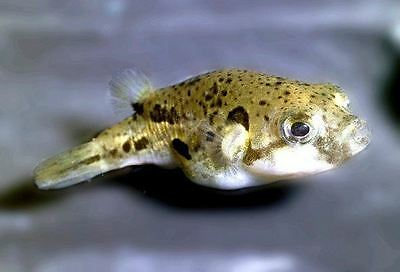 "Dwarf Pea Puffer – Indian Pea (Small) .24"" - .50"""