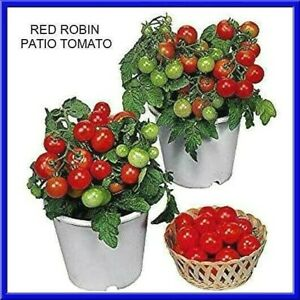 Red Robin Tomato Seeds Grow In Pots