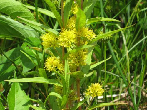 Colore GIALLO palude spada Giglio Iris pseudacorus stagno pianta teichpflanzenzen getopft