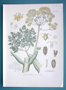 RESIN-OIL-Medicinal-Plant-Ferula-Galbaniflua-Beautiful-COLOR-Botanical-Print
