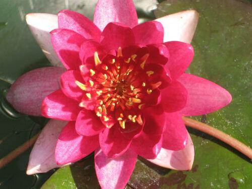 winterharte Seerose Nymphaea Vesuve Seerosen Teichpflanze Teichpflanzen