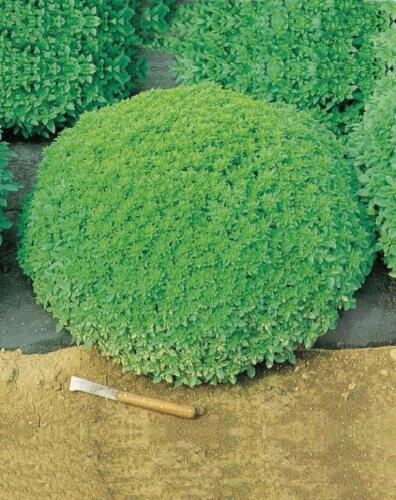 20 DECORATIVE and SCENTED! seeds Basil Fine Verde