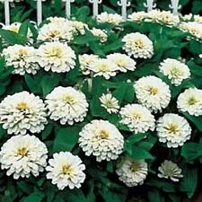 Zinnia Benary Giant White Annual Seed