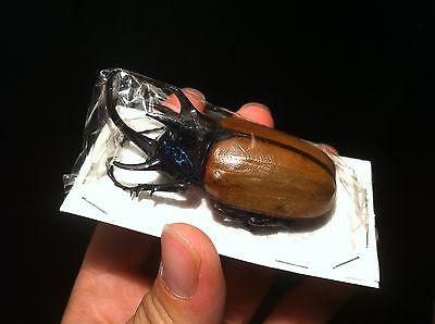 Golofa porteri 60//70 mm A1 du Pérou! Entomologie Collection Insecte