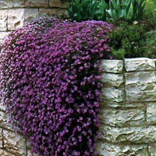 50 Seeds Rock Cress Cascade Purple