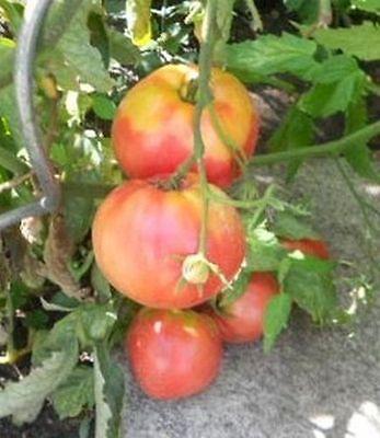 Tomate OCHSENHERZ - Sehr hoher Ertrag - Tomatensamen  - Fleischtomate PORTOFREI