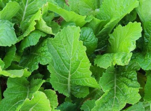 100 Leaf Mustard Florida Broadleaf seeds