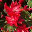 thumbnail 4 - Easter Cactus with flowers