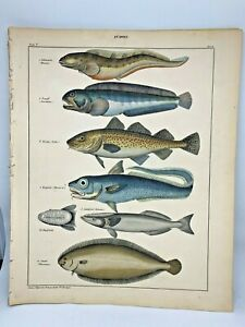 Antique-large-hand-colored-print-1843-Oken-039-s-Naturgeschichte-Plate-48-Fish