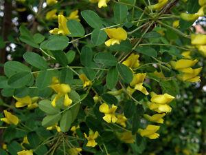 Siberian Pea Shrub 10 Seeds Caragana arborescens