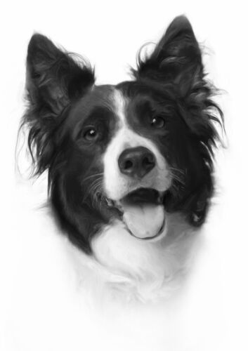 Border Collie Stunning Drawing Sheepdog Picture Black /& White A4 Poster
