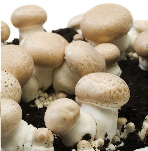 Pilzzucht im GARTEN: braune Wald-Champignons / Stein-Champignon PILZE züchten