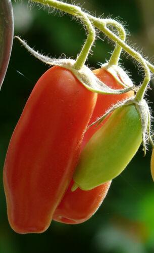 30//200 Seeds Tomato Red San Marzano 2 mid Season Grout Sauce Salad Drying