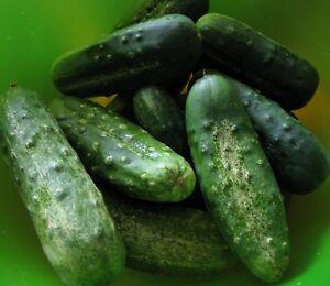 Cucumber-Seeds-Boston-Pickling-Heirloom-100-seeds-2019-Seeds